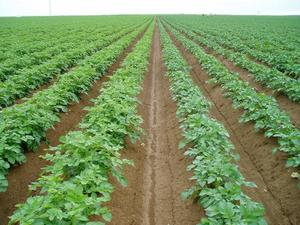 Field of potatoes plants