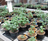 Experiment in controlled conditions (greenhouse)